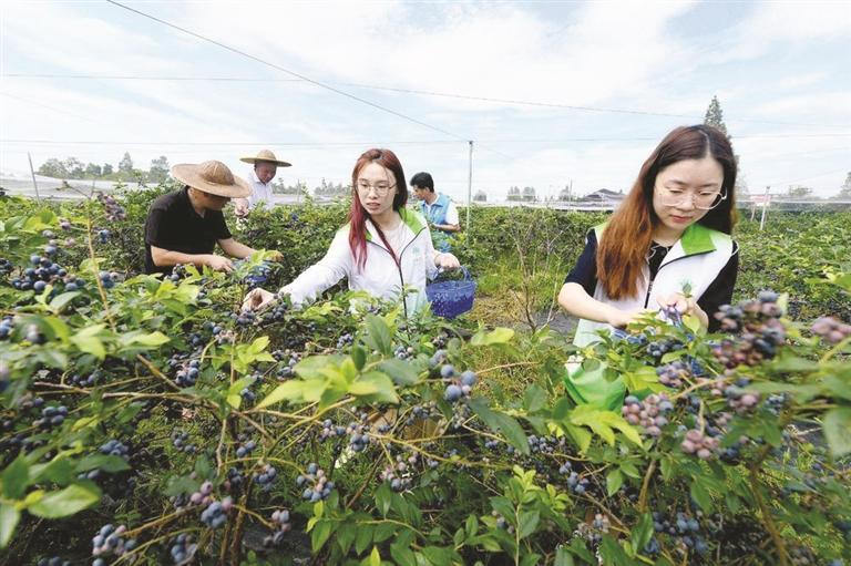 蓝莓熟果农乐